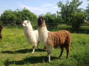 Lama-Wandern in der Pfalz