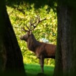 Rothirsch im Wild- und Wanderpark in Silz