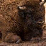 Wisent David und Goliath im Wild- und Wanderpark in Silz