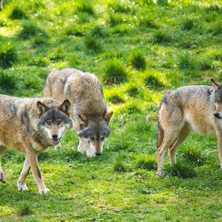 Wölfe im Wild- und Wanderpark in Silz