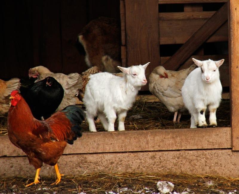 Zicklein und Hühner im Wild- und Wanderpark in Silz