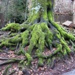 Mit Moos bedeckte Baumwurzeln an der Burg Berwartstein bei Erlenbach in der Pfalz
