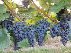 Südpfälzer Weintrauben