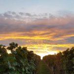 Sonnenuntergang zwischen Weinreben bei Landau-Nußdorf in der Pfalz