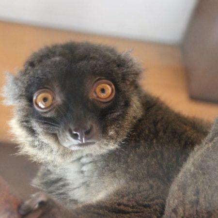 Zoo Donnersberg - Weißkopf Maki