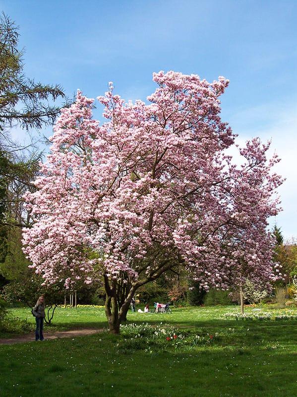 Mandelbaumblüte in Landau in der Pfalz