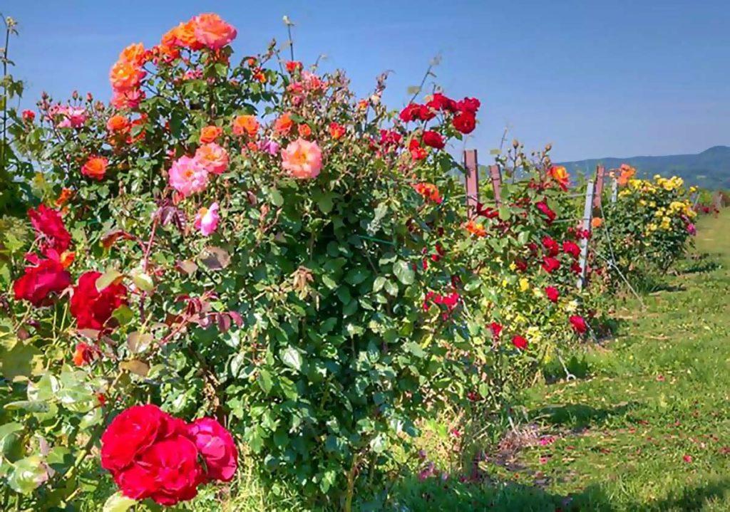 """Rosenwandertag: Rosenwanderung durch die Weinlage """"Rosengarten"""" in Kapellen-Drusweiler in der Pfalz"""