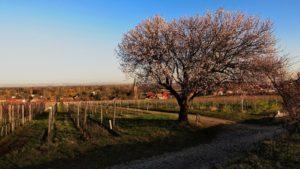 Weinlage Jesuitengarten in Forst