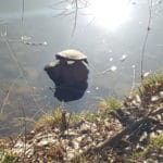 Schildkröte beim Sonnenbad am Hilschweiher