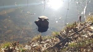 Schildkröte am Hilschweiher