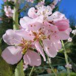 Mandelblüte - Neustadt - Gimmeldingen in der Pfalz