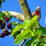 Pfälzer Rotkehlchen auf Kirschbaum
