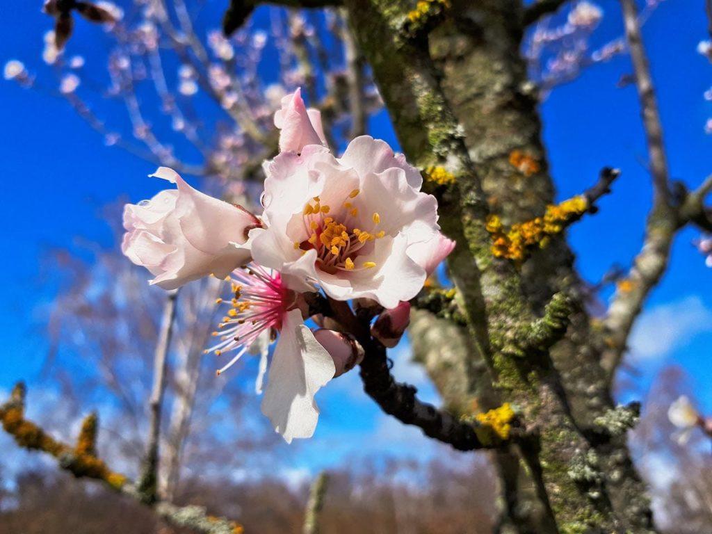 Mandelblüte in der Pfalz - Foto: Slow Wandern
