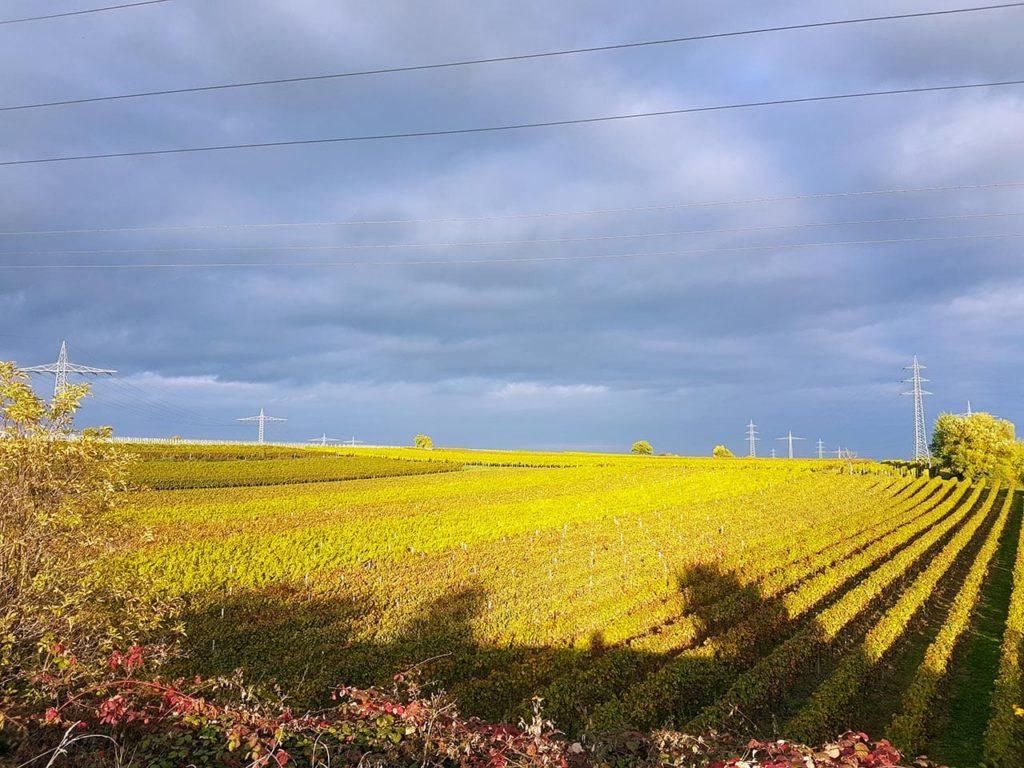 Weinbau in der Pfalz