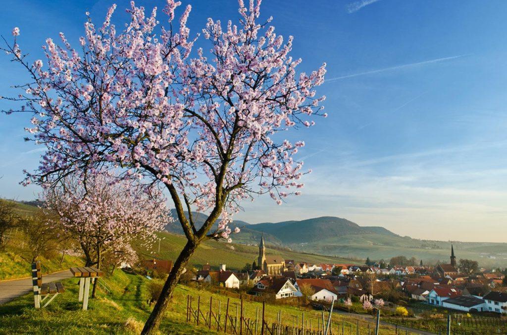 Mandelblüte in Birkweiler in der Pfalz