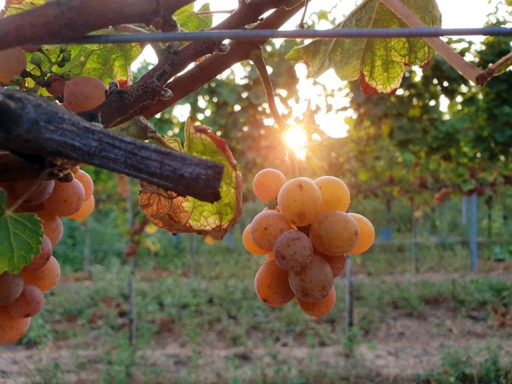Pfälzische Weintraube