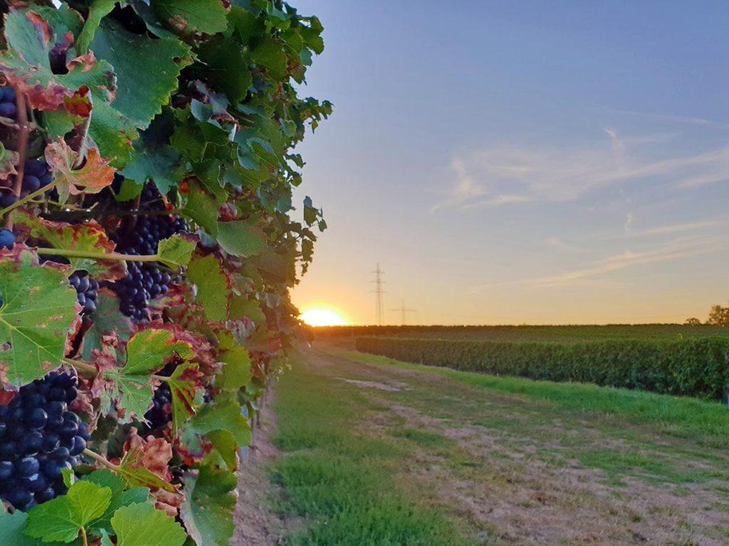 Sonnenaufgang im Pfälzer Weinberg