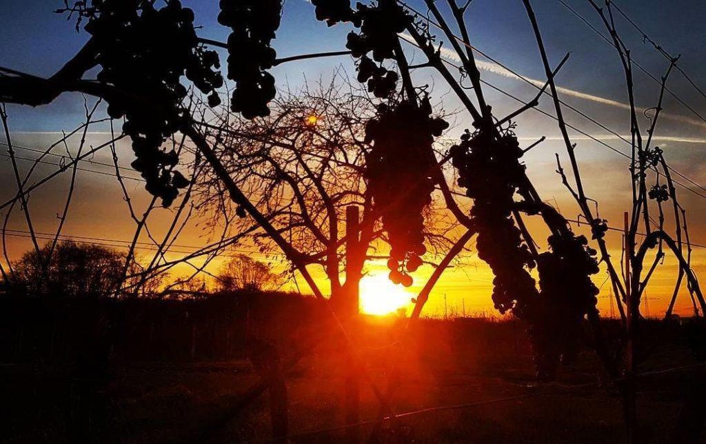 Sonnenaufgang im Weinberg in der Pfalz
