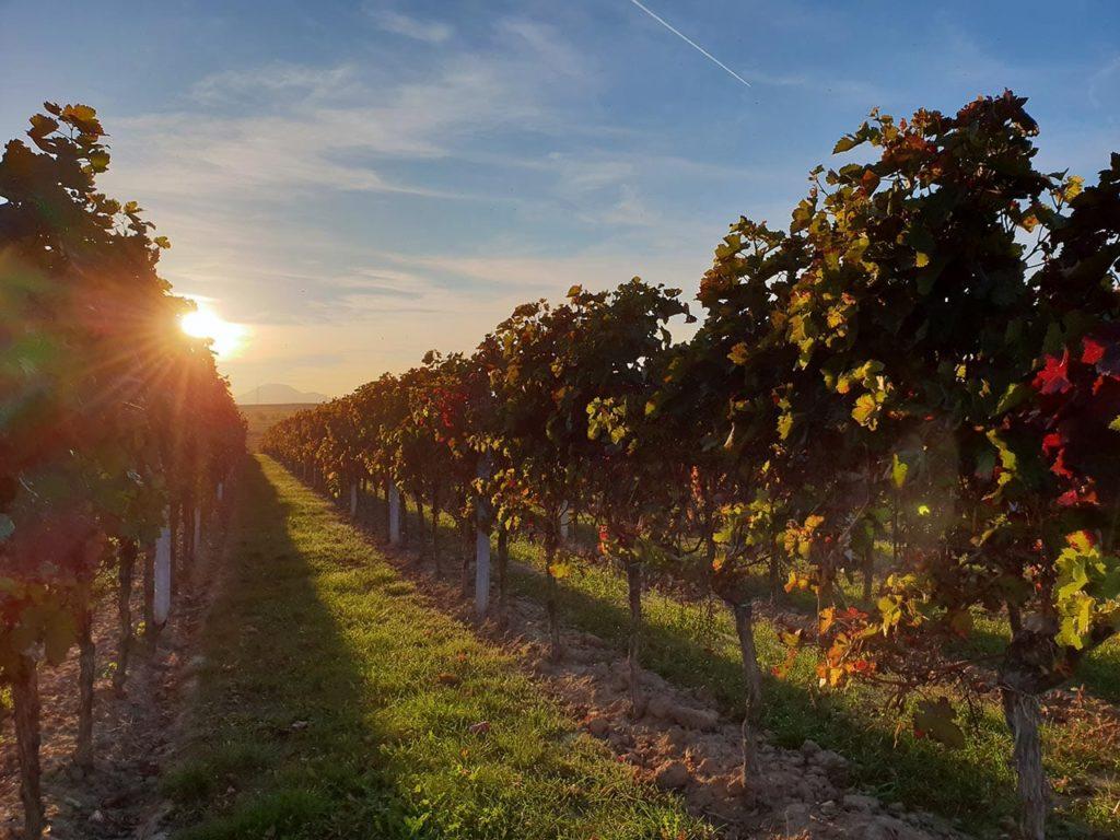 Sonnenschein im Pfälzer Weinber