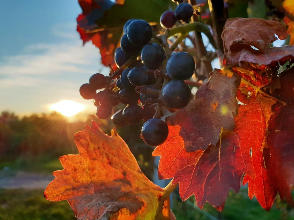 Weintrauben in der Pfalz