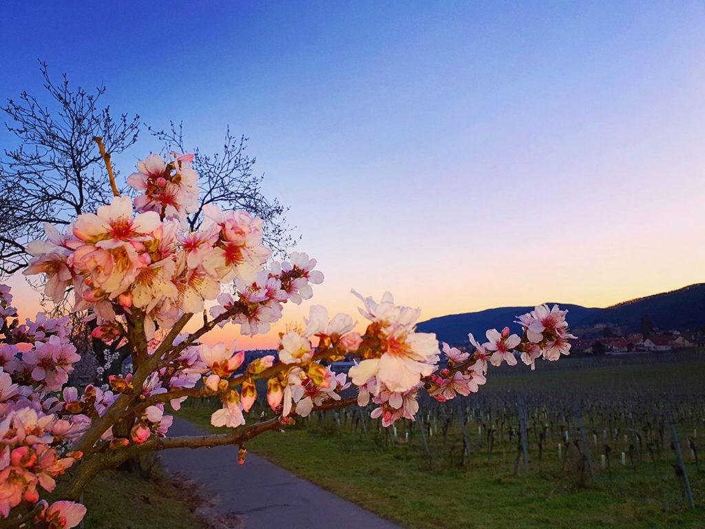 Mandelblüte in Gimmeldingen in der Pfalz